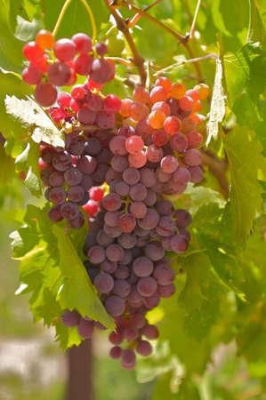 sun lit: Beautifully sun lit grapes.