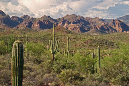Saguaros in Superstition Wilderness.