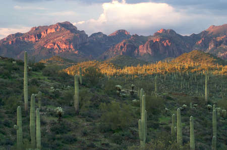 Saguaros in Superstition Wilderness.