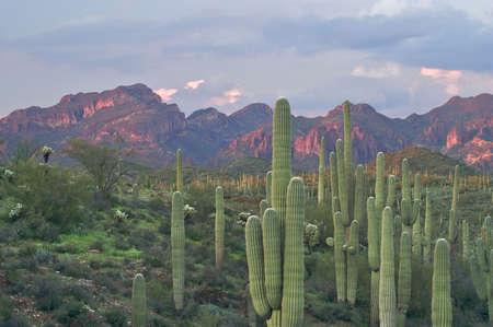 ocotillo: Saguaros in Superstition Wilderness.