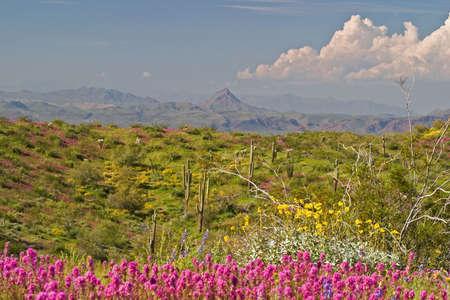 sonoran desert: Blooming Sonoran Desert.