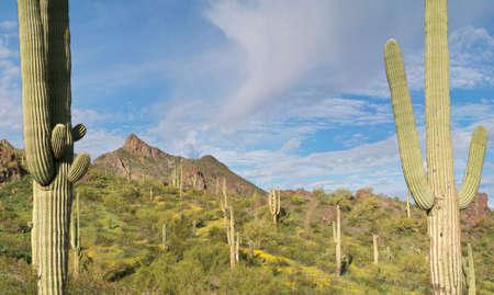 sonoran desert: Saguaros in Blooming Sonoran Desert.