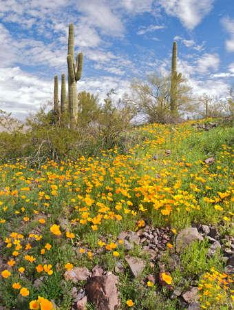 sonoran: Blooming Sonoran Desert in Picacho Peak State Park.