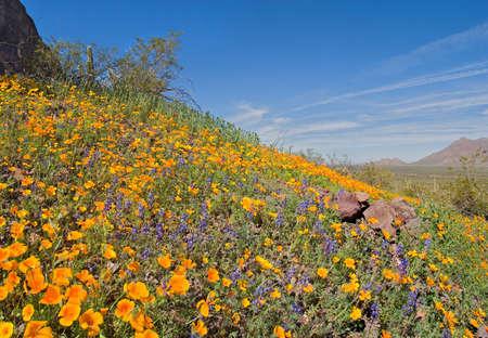 sonoran desert: Blooming Sonoran Desert in Picacho Peak State Park.