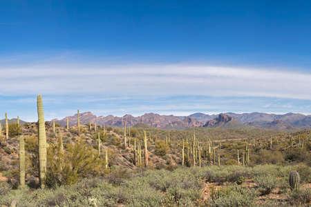 sonoran desert: Sonoran Desert with Saguaros.