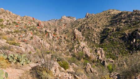 ocotillo: Ocotillo and Saguaros in Catalina Mountains. Stock Photo