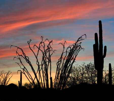 ocotillo: Saguaro and Ocotillo silhouette in red sunset lit clouds. Stock Photo
