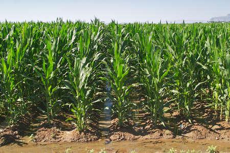 De maíz de regadío. Foto de archivo - 3188555