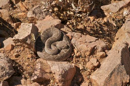 sonoran: Sleeping Rattlesnake in Sonoran Desert. Stock Photo