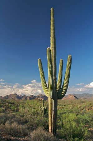 sonoran: Saguaro in beautifull Sonoran Desert.