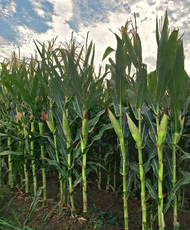 Corn field with row of mature corn ears. Foto de archivo