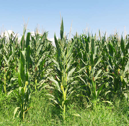 Campo de maíz con hileras de maíz madura. Foto de archivo - 3352237