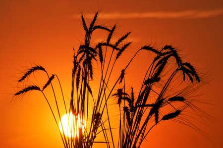 barley head:  Silhouette of wheat on a sundown background.