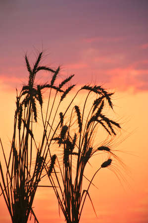 barley head:  Silhouette of wheat on a sundown background.
