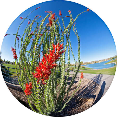 ocotillo: Blooming Ocotillo in a park with lake. Stock Photo