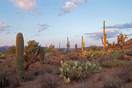 Laatste dagen licht stralen Saguaros in Sonora woestijn.  Stockfoto