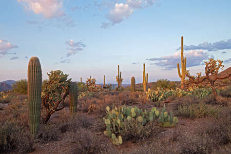 Last days rays lit Saguaros in Sonoran Desert. Stock Photo