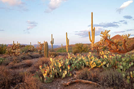 desert ecosystem: Sunsetlit Saguaros in Sonoran Desert. Stock Photo