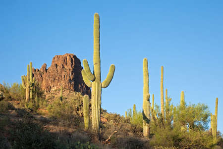 sonoran: Saguaros in Sonoran Desert.