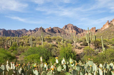 Sonoran Desert wilderness with Saguaros, and blooming Prickly Pear Cactus.