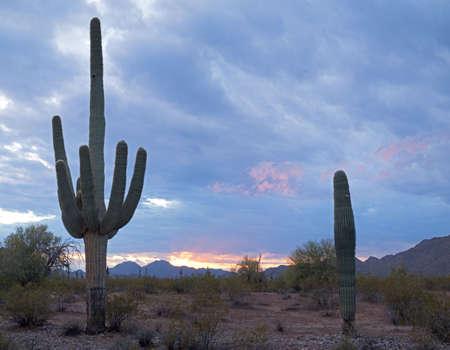 Saguaros and sunset lit storm clouds. photo