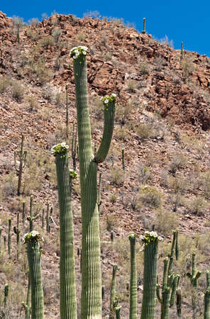 Close up of blooming Saguaro with rocky desert as background. photo