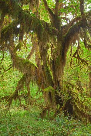 hemlock: Composición de la selva tropical de Hoh, en el Parque Nacional Olímpico de la HDR.