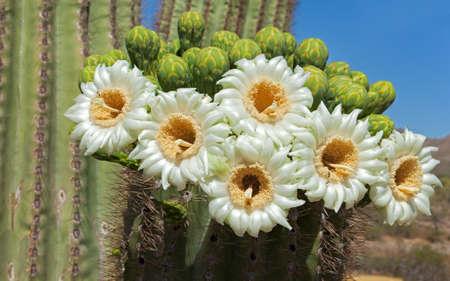 saguaro cactus: Close up of Saguaro blossom. Stock Photo