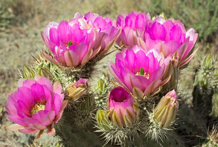Blooming Hedgehog Cactus. Imagens