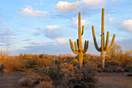 Saguaros in days last light. Stock Photo