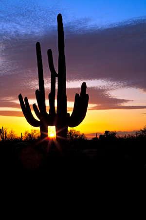 sonoran: Saguaro silhouetten in Sonoran Desert sunset lit sky.