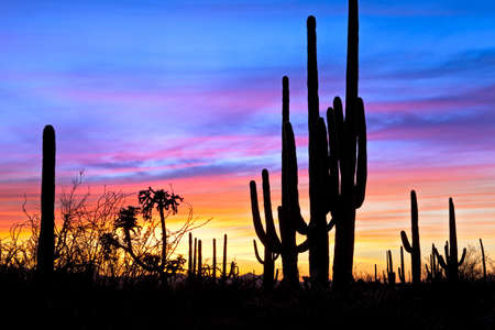 Saguaro silhouetten in Sonoran Desert sunset lit sky. Stock Photo - 9449706