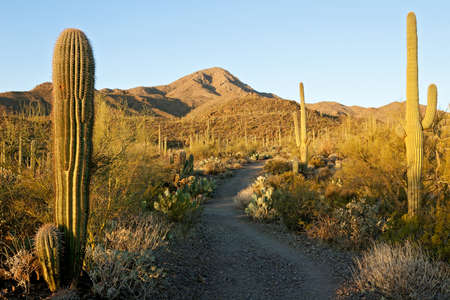 tucson: Sweetwater Trail leading to Wasson Peak, in Saguaro National park.