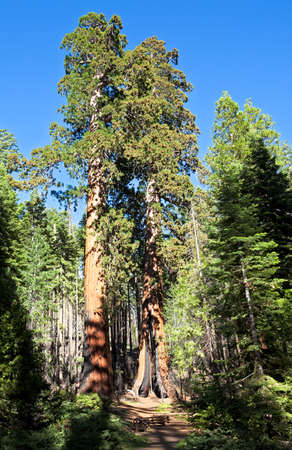 huge tree: Sequoia Trees, the largest living thing on earth. Stock Photo