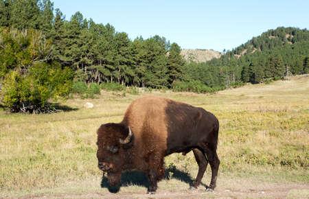 american bison: Buffalo in wake up mood.