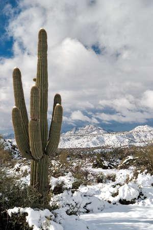Saguaro and snow covered Sonoran Desert.