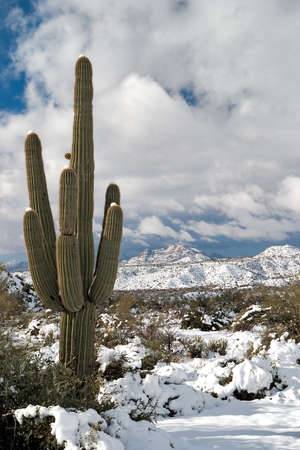 Saguaro and snow covered Sonoran Desert.