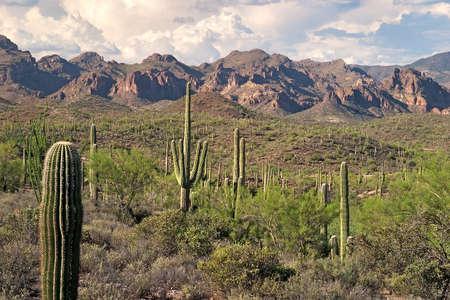 desert ecosystem: Saguaros in Sonoran Desert.