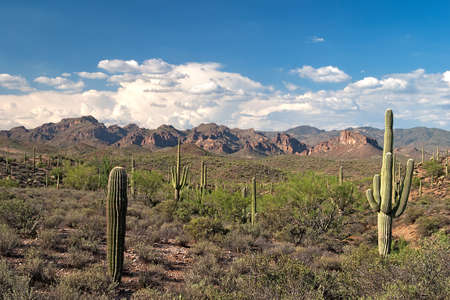 Saguaros in Sonoran Desert. Stock Photo - 11723073