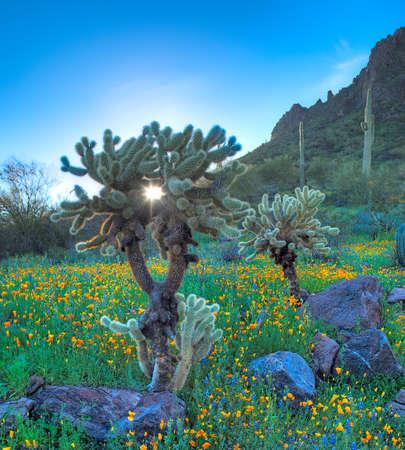 plantas del desierto: Sol de la mañana brilla a través de Cholla.