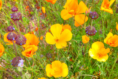 tonto national forest: Blooming Mexican Gold Poppies and Chia.