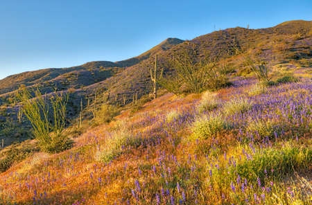 ocotillo: Late light illuminates Mexican gold poppies and Coulter Stock Photo
