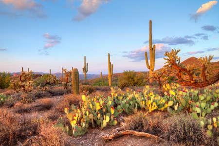 plantas del desierto: La luz a finales ilumina Saguaros en el desierto de Sonora.