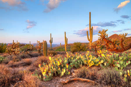 arizona sunset: Late light illuminates Saguaros in Sonoran Desert. Stock Photo