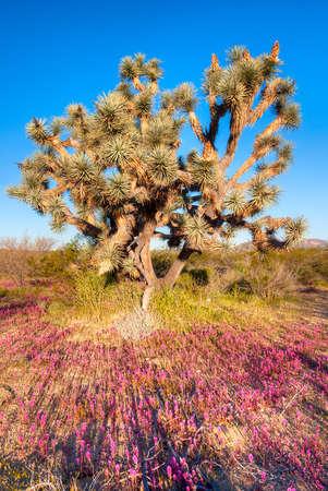 Joshua Tree at sunrise. Фото со стока