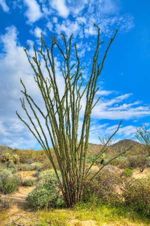 Ocotillo in Sonoran Desert Banco de Imagens - 13195163