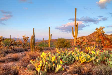plantas del desierto: La luz a finales ilumina Saguaros en el Desierto de Sonora Foto de archivo