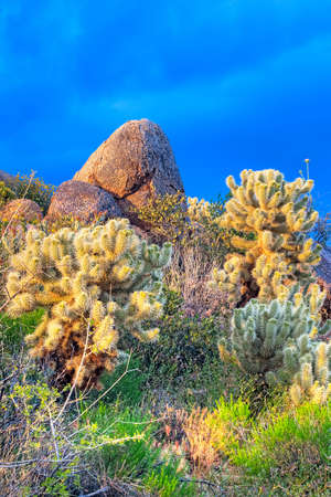 four peaks wilderness: Chollas on rocks catching days last rays.