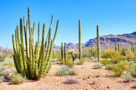 sonoran desert: Cactuses in Organ Pipe Cactus National Monument  Stock Photo