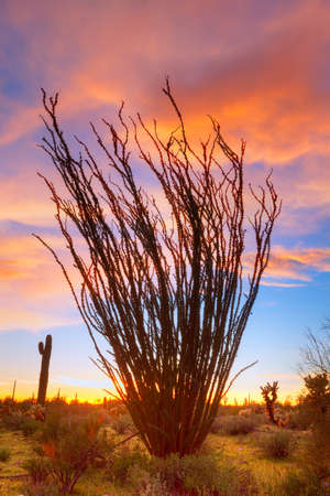 Flaming Ocotillo with burning sky Banco de Imagens - 19977872